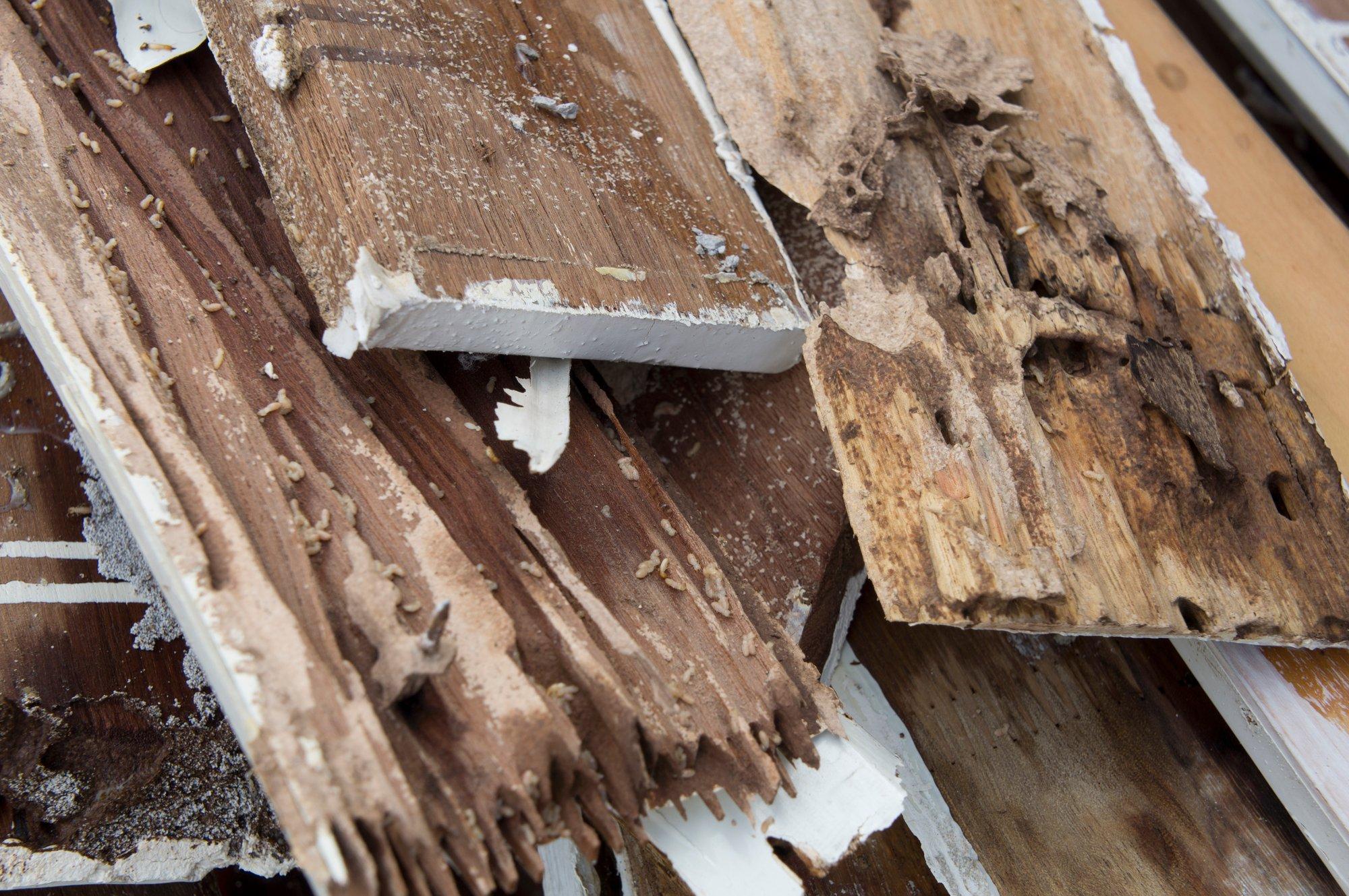Termite damage rotten wood eat nest destroy concept